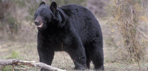 imagenes oso negro oso negro