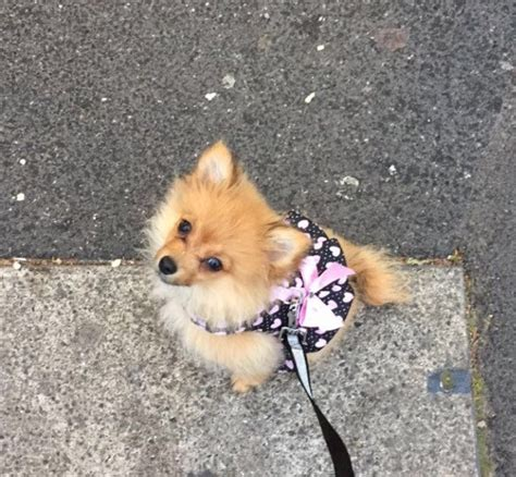 pomeranian 4 months pomeranian puppy 4 months oldham greater manchester pets4homes