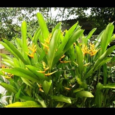 pisang pisangan roempoen bamboe nursery  tanaman hias