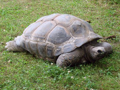 tutorial gambar kura kura gambar margasatwa kebun binatang reptil fauna hewan
