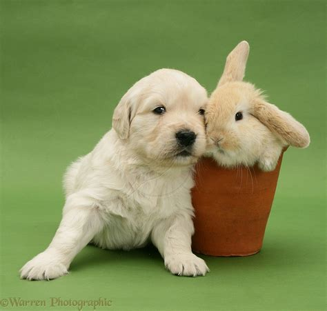 bunnies and puppies puppies bunnies retriever puppy with bunny rabbit