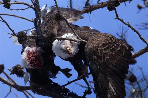 battling bald eagles land in tree 171 conserve wildlife