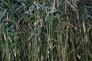 mini bamboo cainta plant nursery
