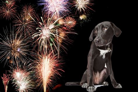 dogs and fireworks keeping your safe during the cowes fireworks cowes