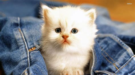 For Cats by White Cat Wallpaper Animal Wallpapers 27935 Cats