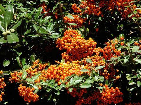 pyracantha in vaso piracanta pyracantha coccinea giardinaggio mobi