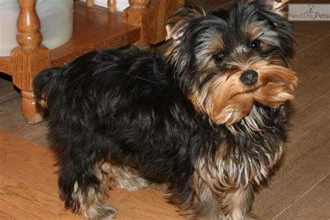 blumoon yorkies yorkies for sale in st louis breeds picture
