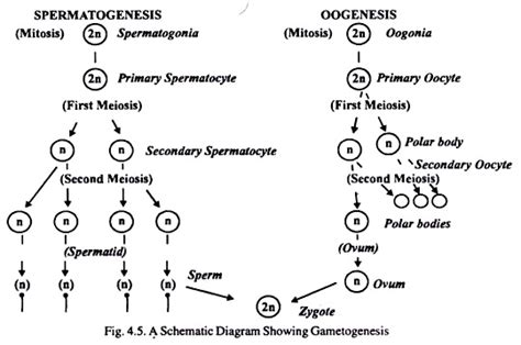 spermatogenesis and oogenesis useful notes with diagram