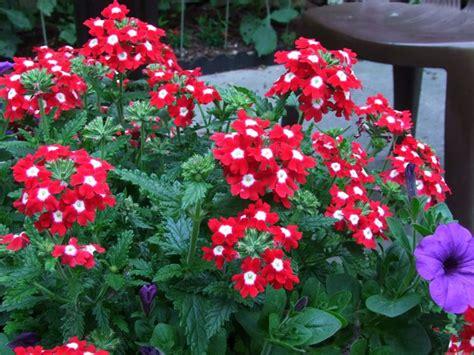 verbena fiore verbena verbena piante annuali verbena coltivare