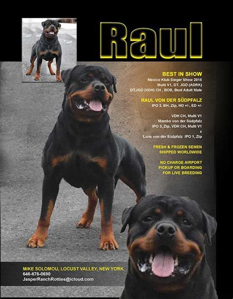 steinhausen rottweilers 17 best images about dogs on mastiff rottweiler breeders and pets