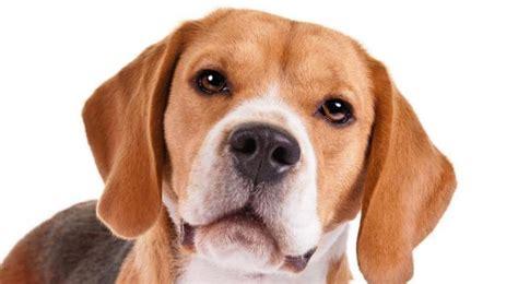 beagle alimentazione corretta razze di cani per bambini mondopets it