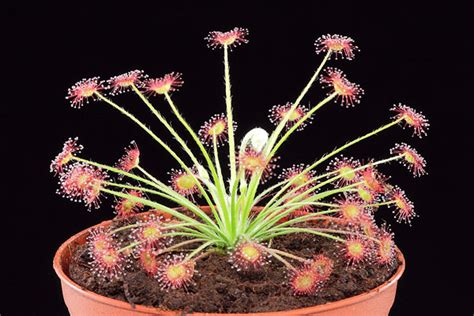 Tanaman Karnivora Drosera Sessilifolia Tanaman Hidup harga tanaman karnivora tanamanbaru