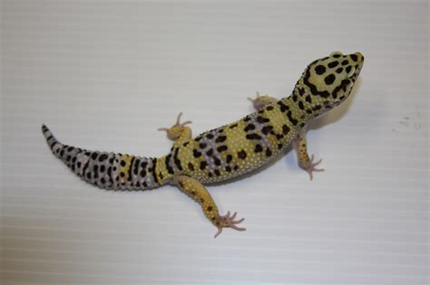 leoparden deko leopard gecko eublepharis macularius genetics