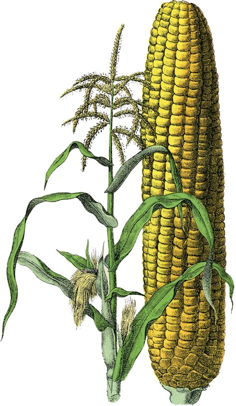 free clipart marvelous free vintage corn image the graphics