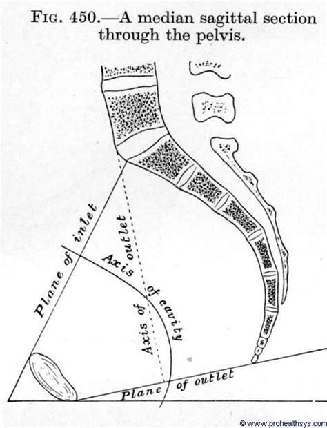 median section pelvis sagittal median section figure 450 human