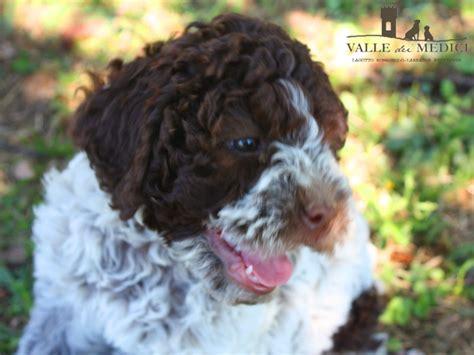 alimentazione cucciolo di alimentazione lagotto romagnolo da cucciolo e non