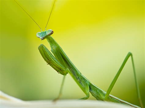 praying mantis colors lime green cannabis color of radiation lung pollution