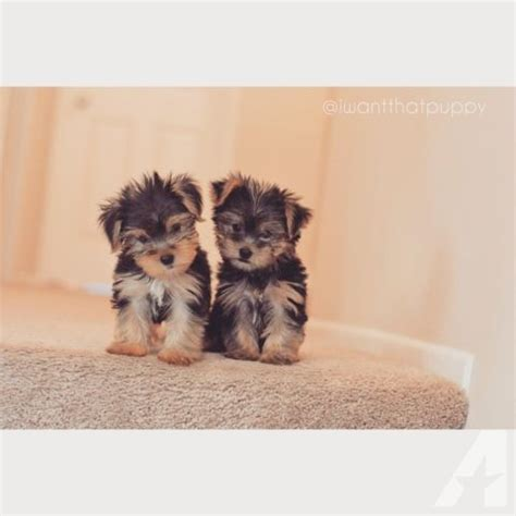 yorkie puppies for sale la beautiful teacup yorkie puppies for sale in la habra california classified
