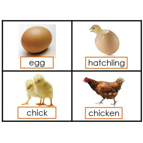 cycle of a cycle of a chicken printable