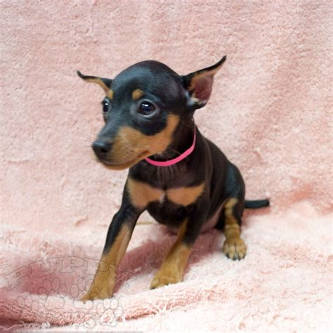 rottweiler and pomeranian yorkie maltese pomeranian bulldog rottweiler boxer pugs and more puppy paws