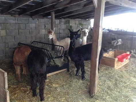 futon hay feeder hay feeder diy project for 30 pauley alpaca company
