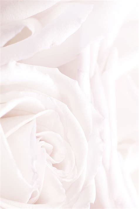 theme rose iphone freeios7 white roses parallax hd iphone ipad wallpaper