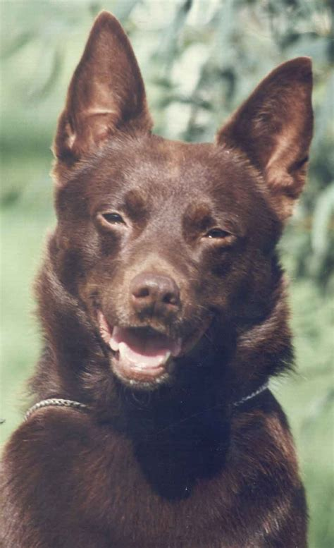 australian kelpie puppies for sale 301 moved permanently