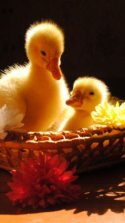 cute wallpaper hd iphone 6 cute baby ducks iphone 6 plus hd wallpapers download