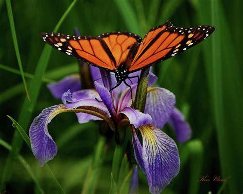 Butterfly Iris Blue T1310 3 monarch butterfly on a blue flag iris by utesch
