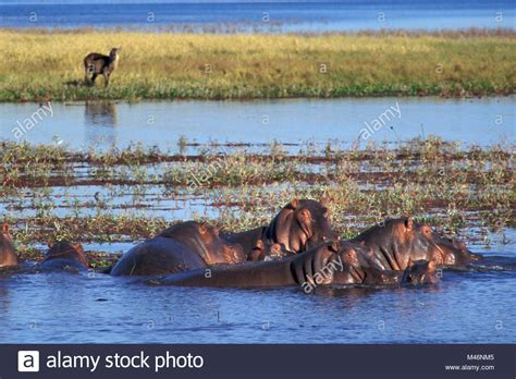 hippo chasing fishing boat kariba stock photos kariba stock images alamy