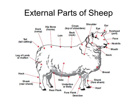 sheep diagram exploring the sheep and goat industry ppt