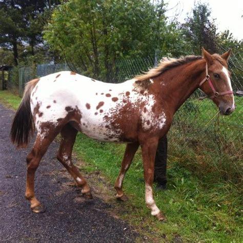 verkaufen kaufen pferd zu verkaufen appaloosa zu verkaufen in asbach