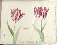 Zaskia Tullipe 1000 images about jacob marrel on tulip 17th