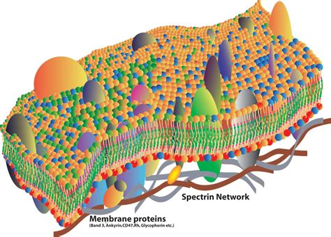 cell membranes youtube