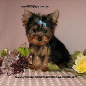 yorkie puppies in alabama dogs alabama free classified ads