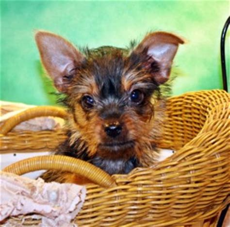 teacup yorkies for adoption in nc pets goldsboro nc free classified ads