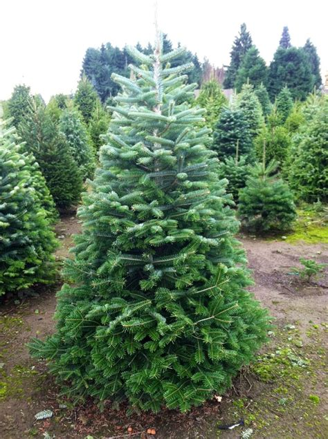 turkish fir palmer s christmas trees