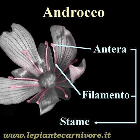 organo maschile fiore struttura fiore