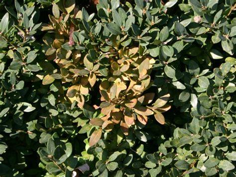 Schädlinge Buchsbaum by Buchsbaum Krankheiten