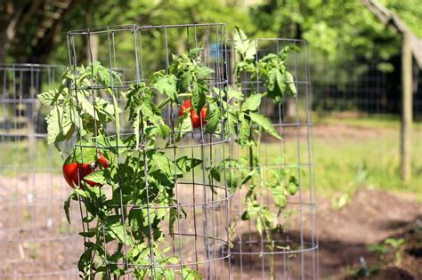 Patio Tomato Plant Care by How To Use Tomato Cages Hgtv
