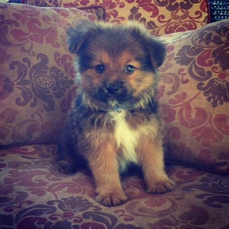 yorkie pomeranian mix hair cuts pomeranian yorkie mix my new baby biscuit adorable
