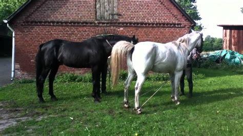 esel beim decken pferdepaarung