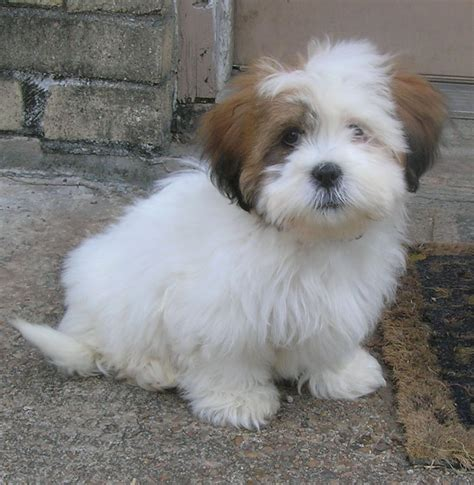 shih tzu puppies for sale in houston houston pet adoption shih tzu breed auto design tech