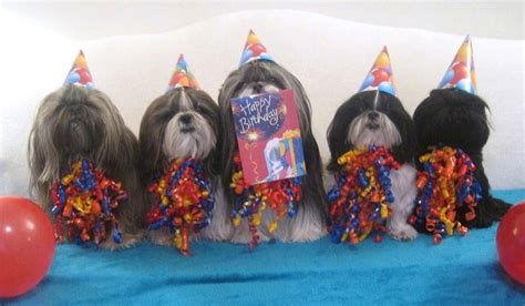 happy birthday shih tzu pictures shih tzu birthday images search yappy barkday