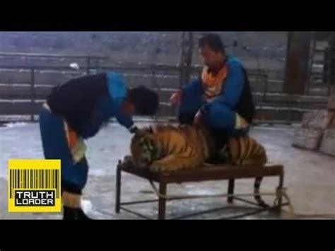 tiger bench torture tiger bench torture videolike