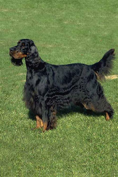 gordon setter dog club gordon setter dog breed information