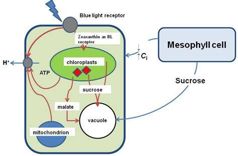 mesophyll cell diagram mesophyll diagram gallery