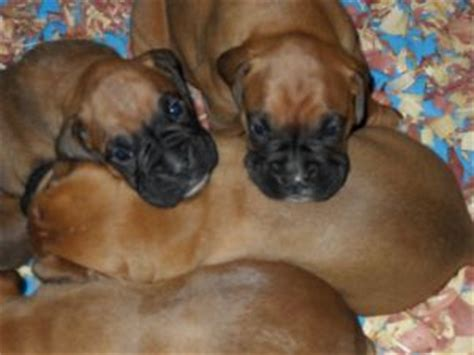 german boxer puppies for sale boxer puppies for sale