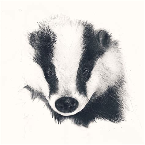 drawn badger pencil   color drawn badger