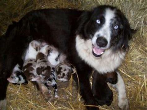 australian shepherd puppies illinois australian shepherd puppies in illinois